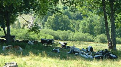 vaches repos pature