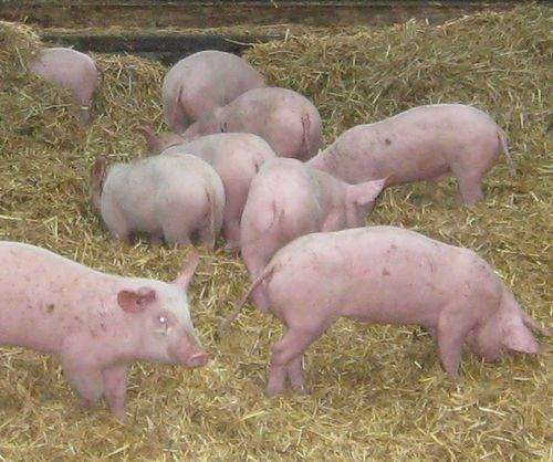porcs paille