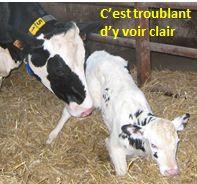 veau NN vache petit