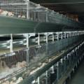 poulettes cages