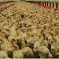 poulets industriels