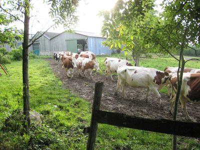 vaches vont au pré