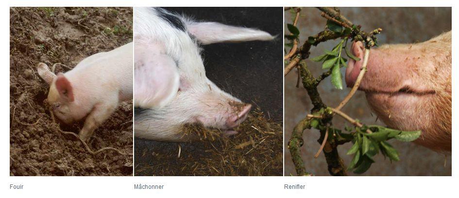 porcs fouillant EUWelNet