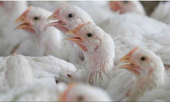 poulets CIWF