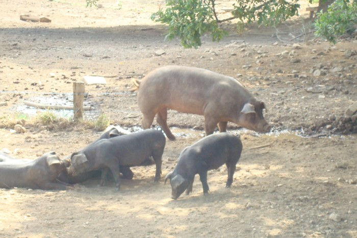 porcs-grallien-3